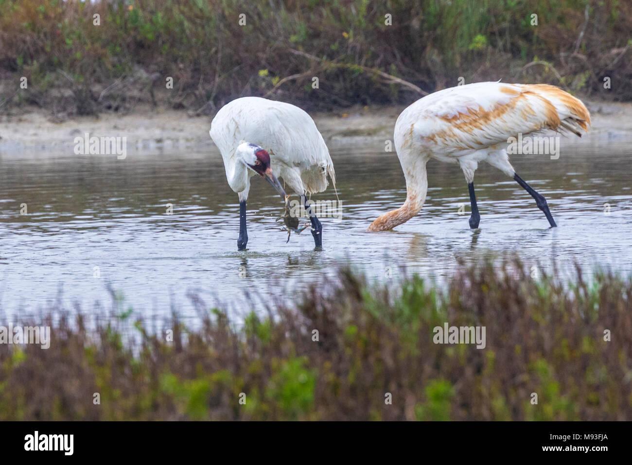 Whooping Cranes in Aransas National Wildlife Refuge - Stock Image