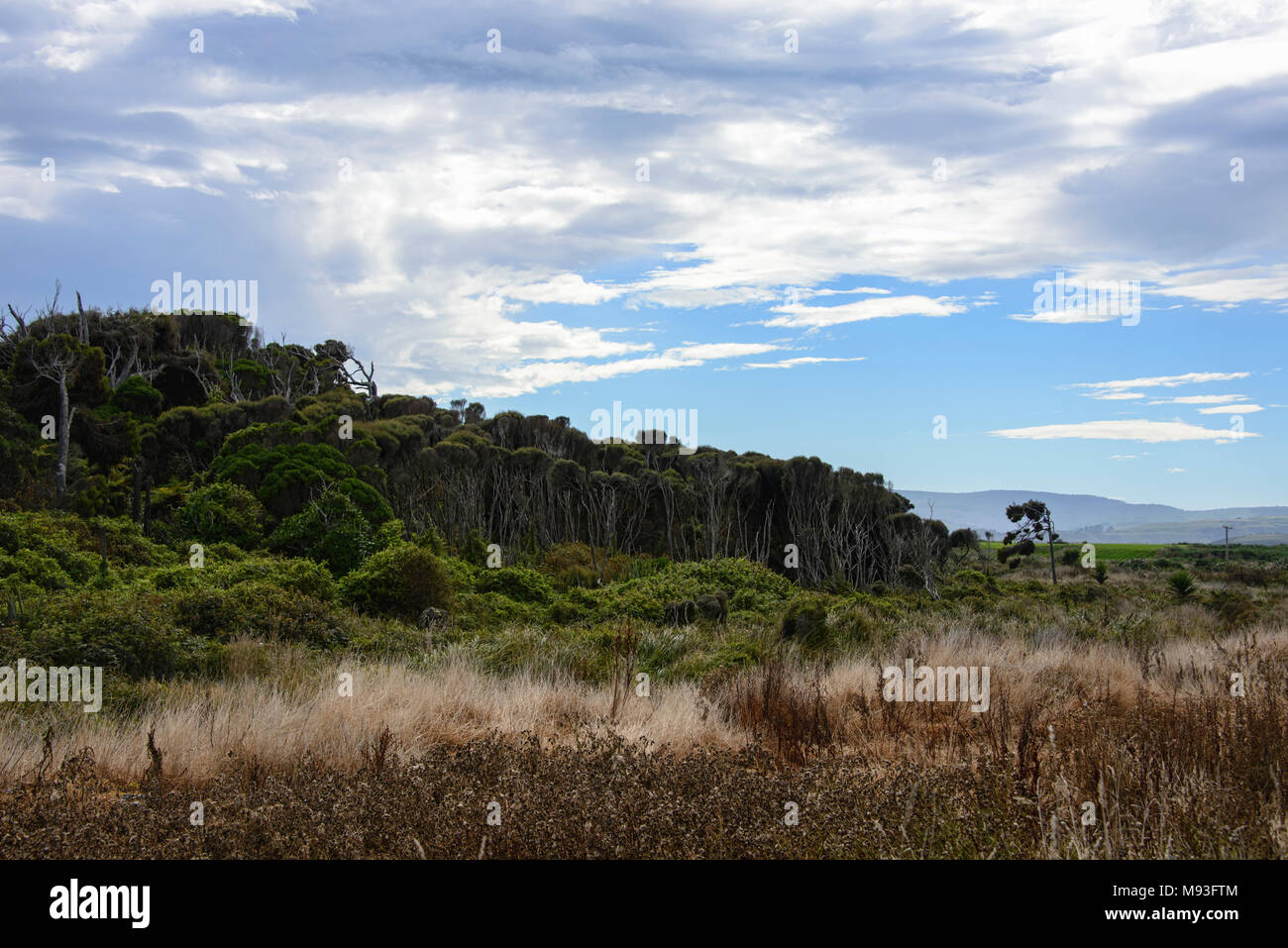 Windswept trees battered by Antarctic winds in the Roaring Forties, Slope Point, Catlins, New Zealand - Stock Image