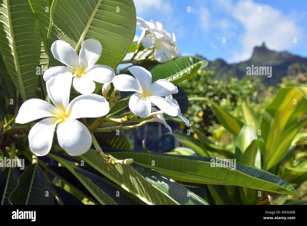 Plumeria flowers grows in Rarotonga, Cook Islands. In several Pacific islands, such as Tahiti, Fiji, Samoa, Hawaii, New Zealand, Tonga, and the Cook I - Stock Image
