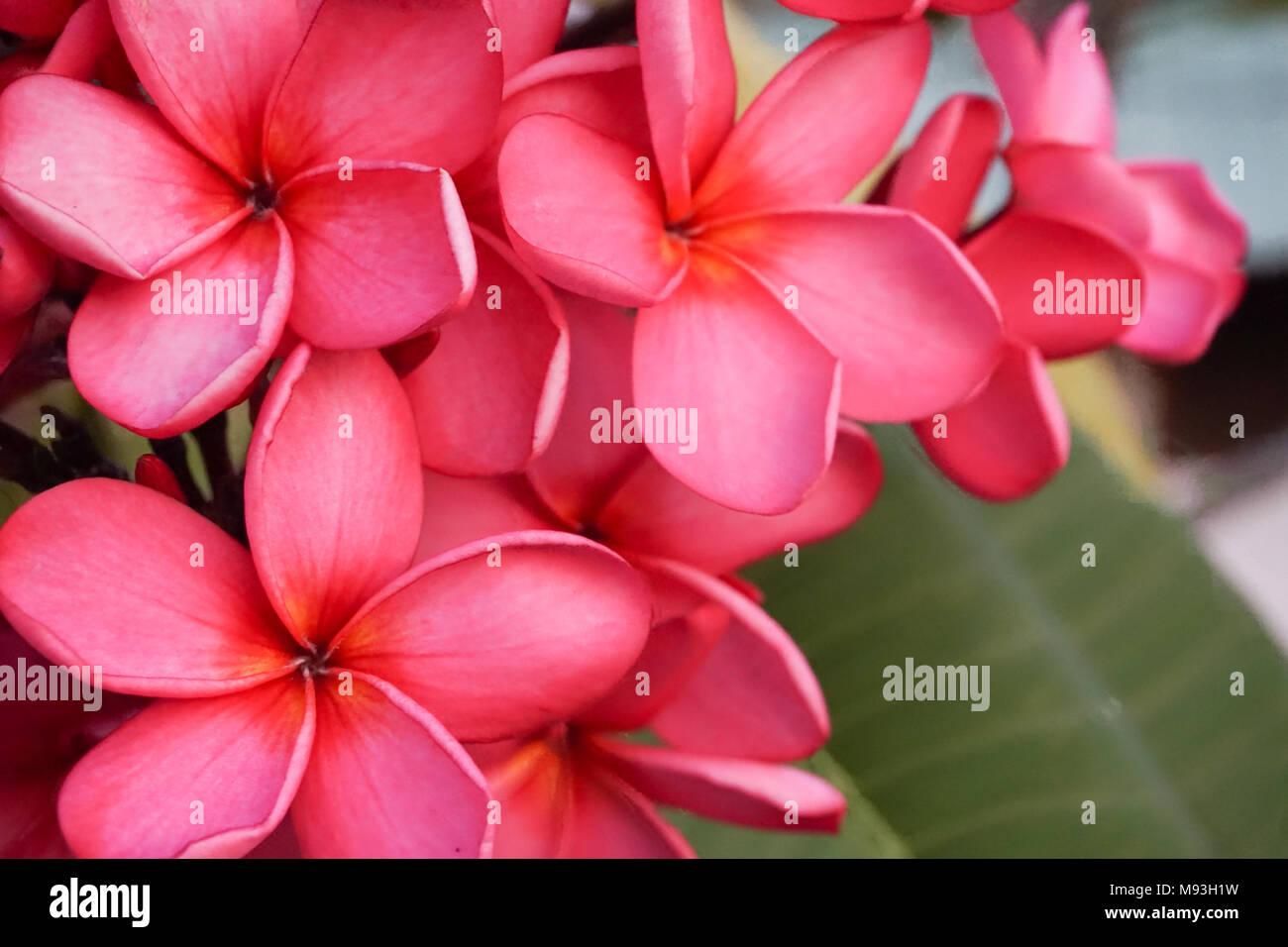 Bunga Kamboja High Resolution Stock Photography And Images Alamy