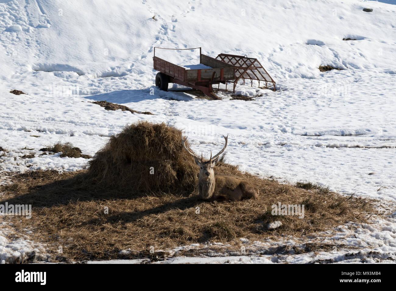 Red Deer in Sutherland landscape - Stock Image