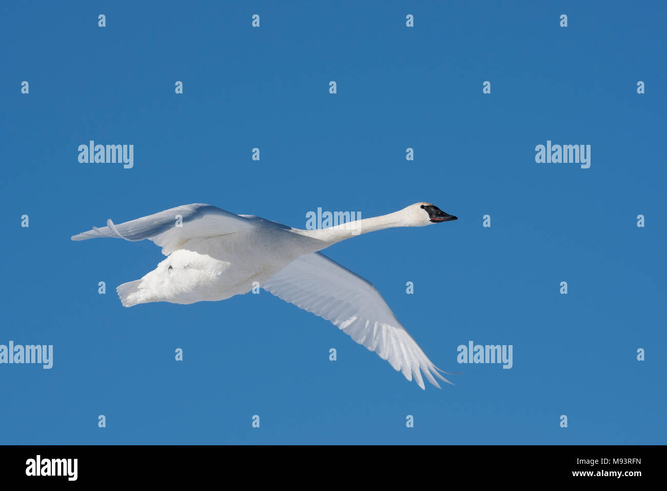 Trumpeter swan (Cygnus buccinator) in flight, WI, USA, Early January, by Dominique Braud/Dembinsky Photo Assoc - Stock Image