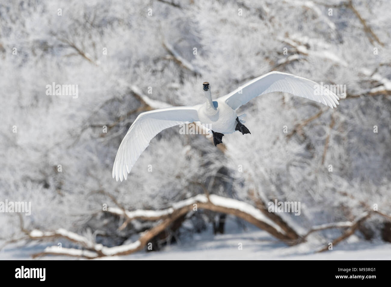 Trumpeter swan (Cygnus buccinator) landing on St. Croix river, trees with hoarfrost in background, Hudson, WI, USA, by Dominique Braud/Dembinsky Photo - Stock Image