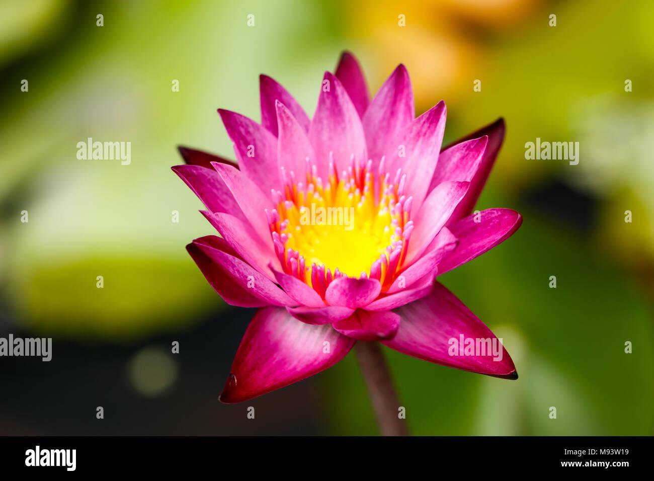 Big lotus leaf stock photos big lotus leaf stock images page 3 pink lotus flowers growing upright stock image mightylinksfo