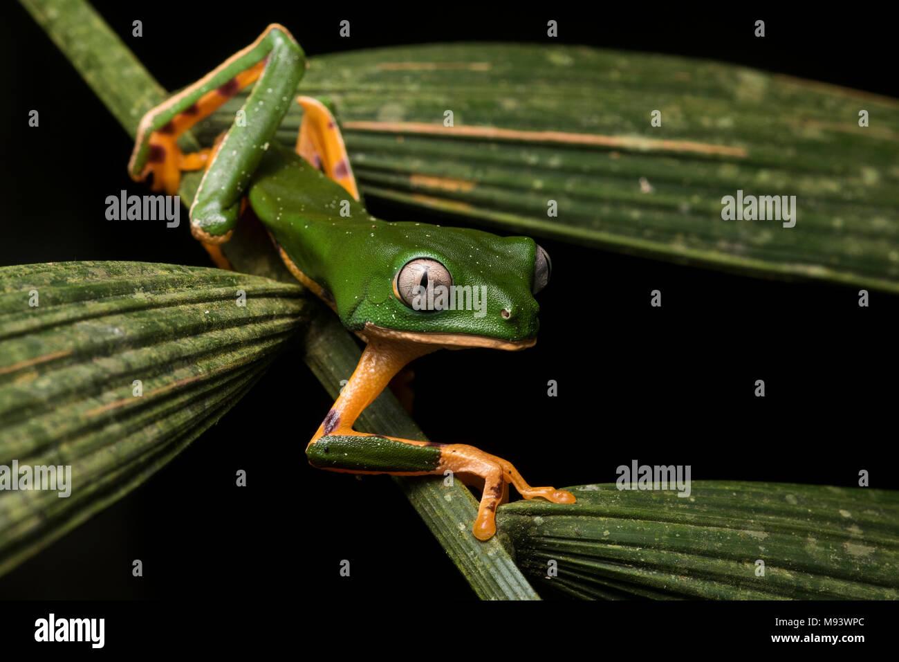 A Phyllomedusa (Callimedusa) tomopterna from Peru. - Stock Image