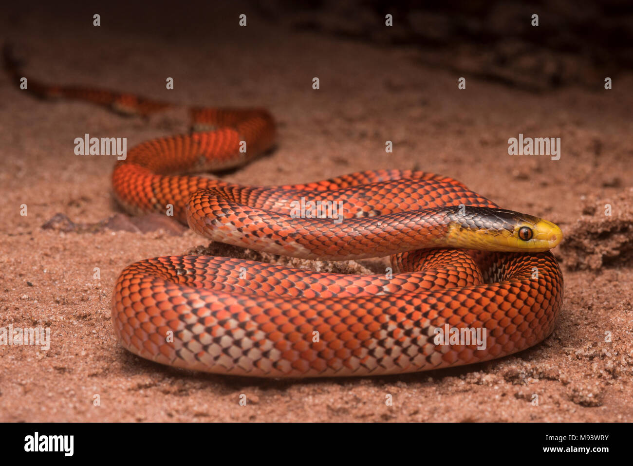 The Formosa false coral snake (Oxyrhopus formosus) is a harmless snake species.  It is one of the most colorful snakes in the jungle. - Stock Image