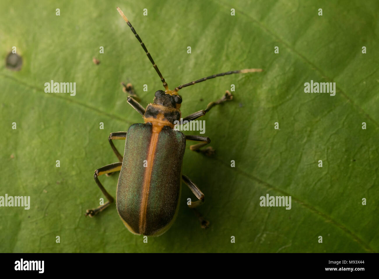 A leaf beetle (Family Chrysomelidae) from Peru. - Stock Image
