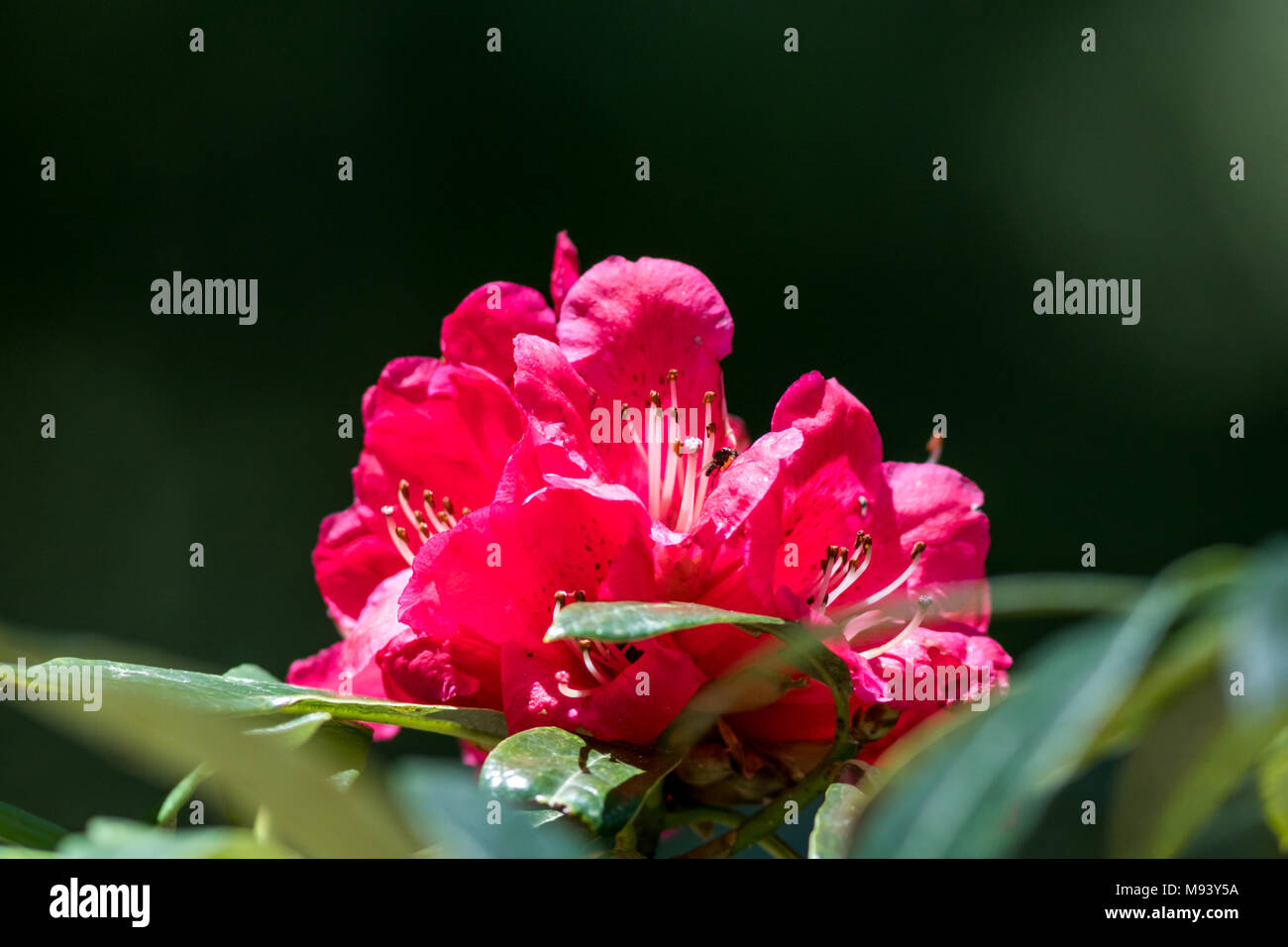 Rhododendron (Ericaceae) flowers in Great Himalayan National Park near Kullu Manali, Himachal Pradesh, India - Stock Image