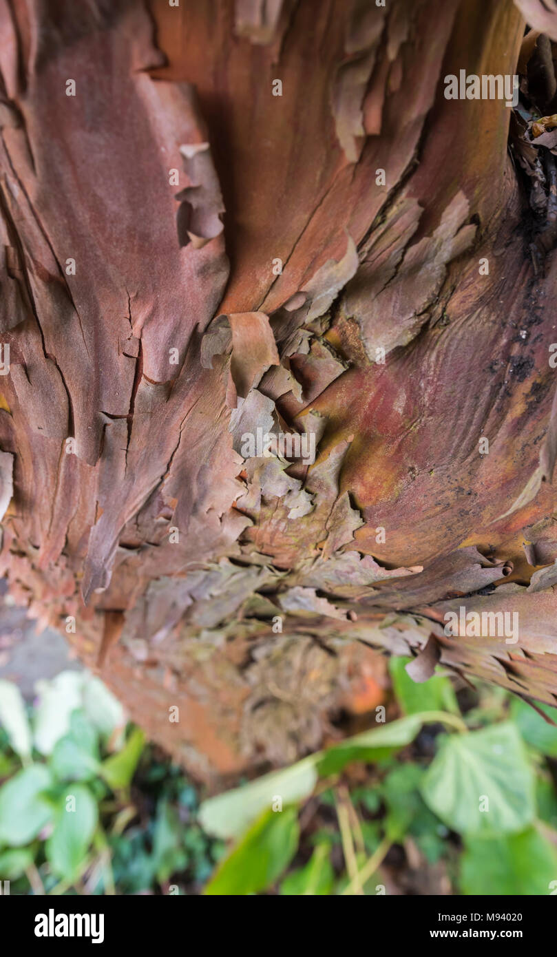 Closeup of the peeling bark from the trunk of a Paperbark Maple tree (Acer griseum), a reddish tree growing in Spring in the UK. - Stock Image