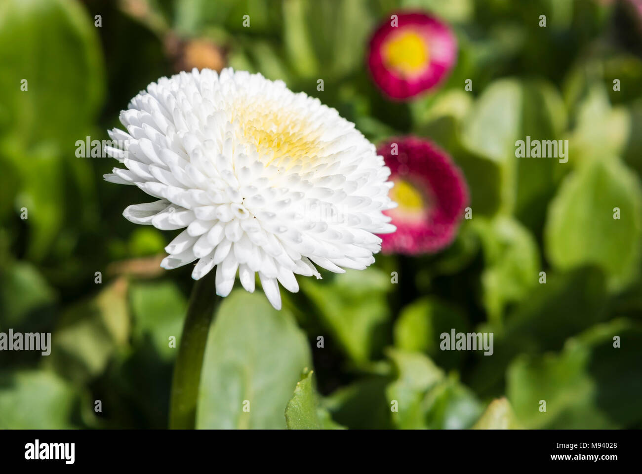 Bellis perennis, probably 'Pomponette White' from the Pomponette Series, ad English daisy growing in Spring in the UK. White Lawn Daisy. - Stock Image