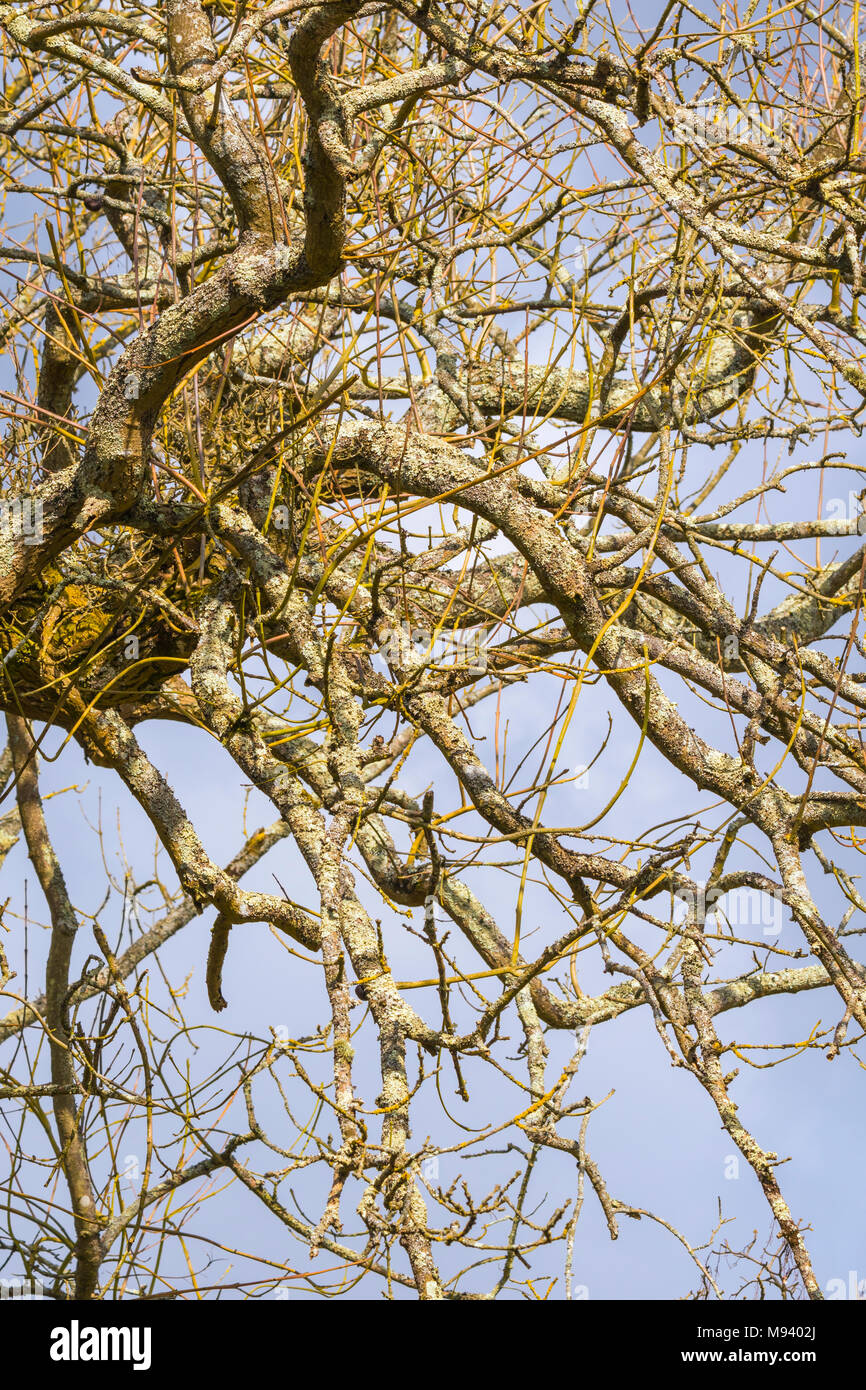 Leafless tree branches and twigs in Spring, on a deciduous tree in the UK. - Stock Image