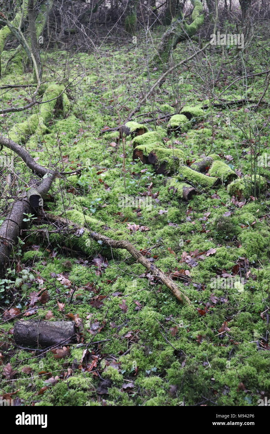 A fallen tree has been cut into logs then left on the forest floor to become a habitat for invertebrates. - Stock Image