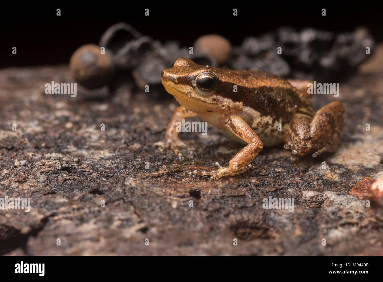 Allobates ornatus, a tiny poison frog only known from the San Martin department in Northern Peru. - Stock Image