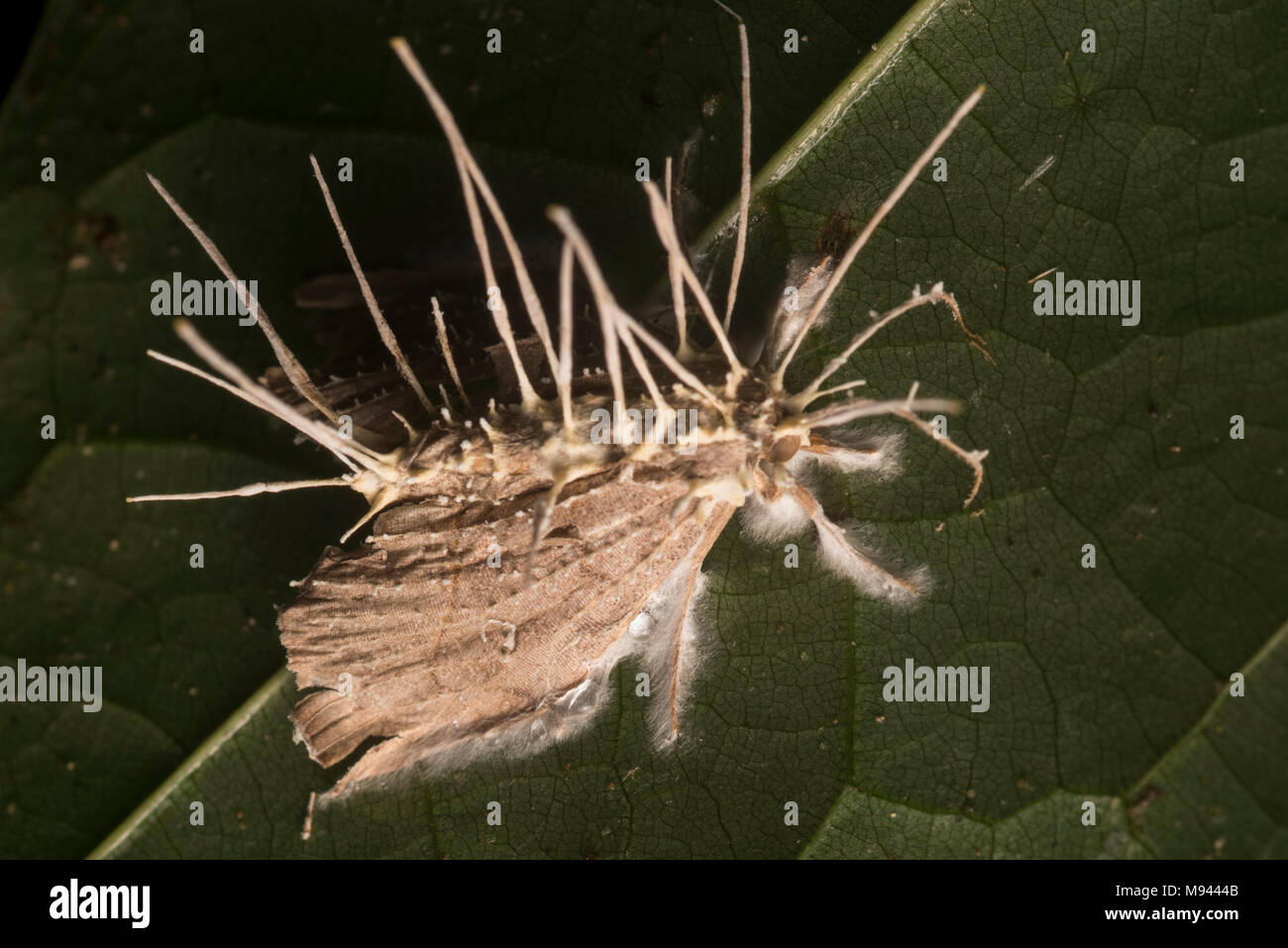 A Cordyceps fungi has taken over and killed this moth and now produces fruiting bodies from its carcass. - Stock Image