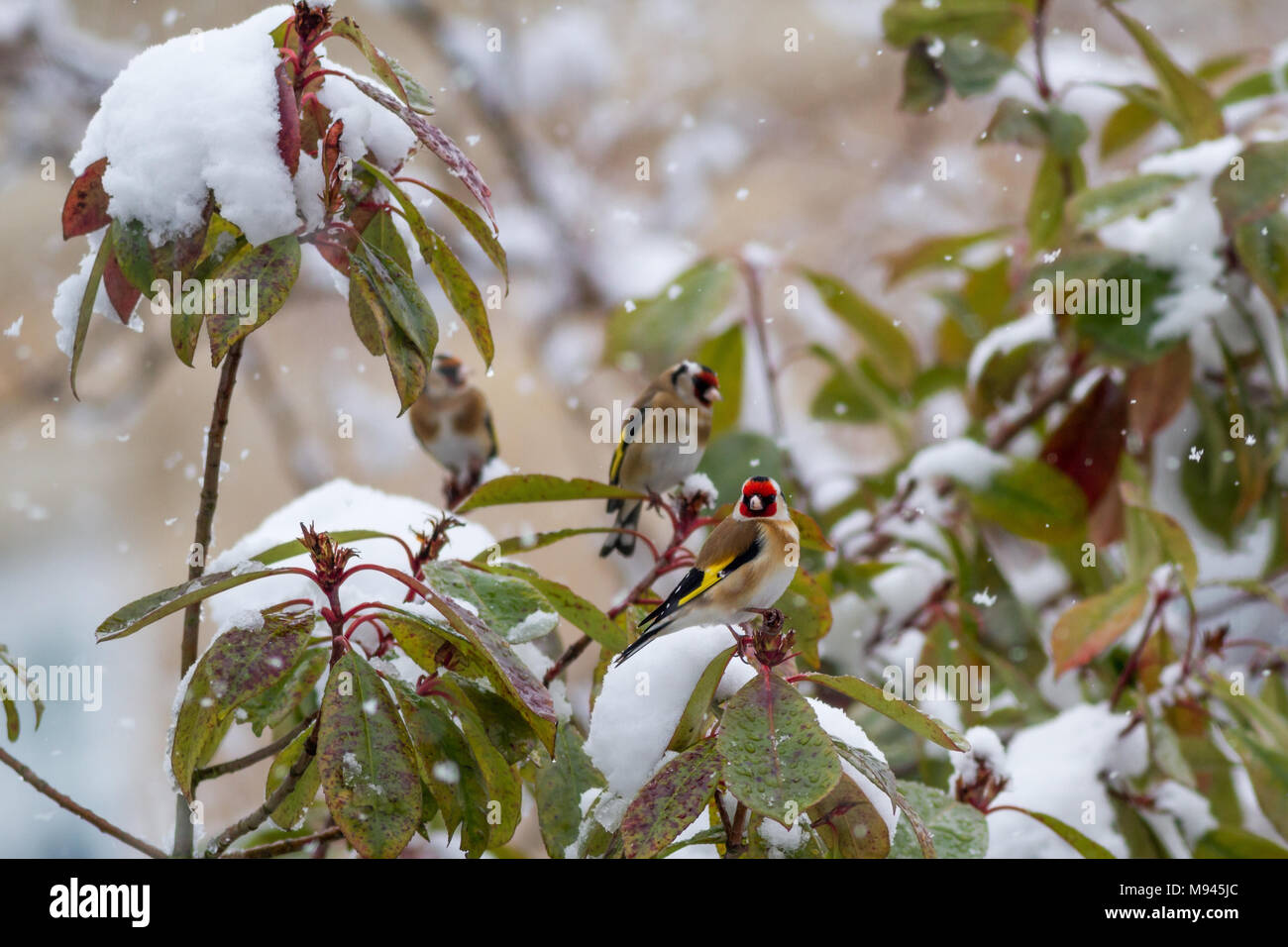 Group of goldfinches in a snowy garden while it's snowing, UK wildlife - Stock Image