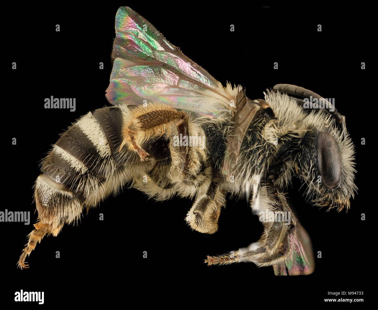 Lasioglossum heterorhinum, F, Side, UT, Garfield County - Stock Image