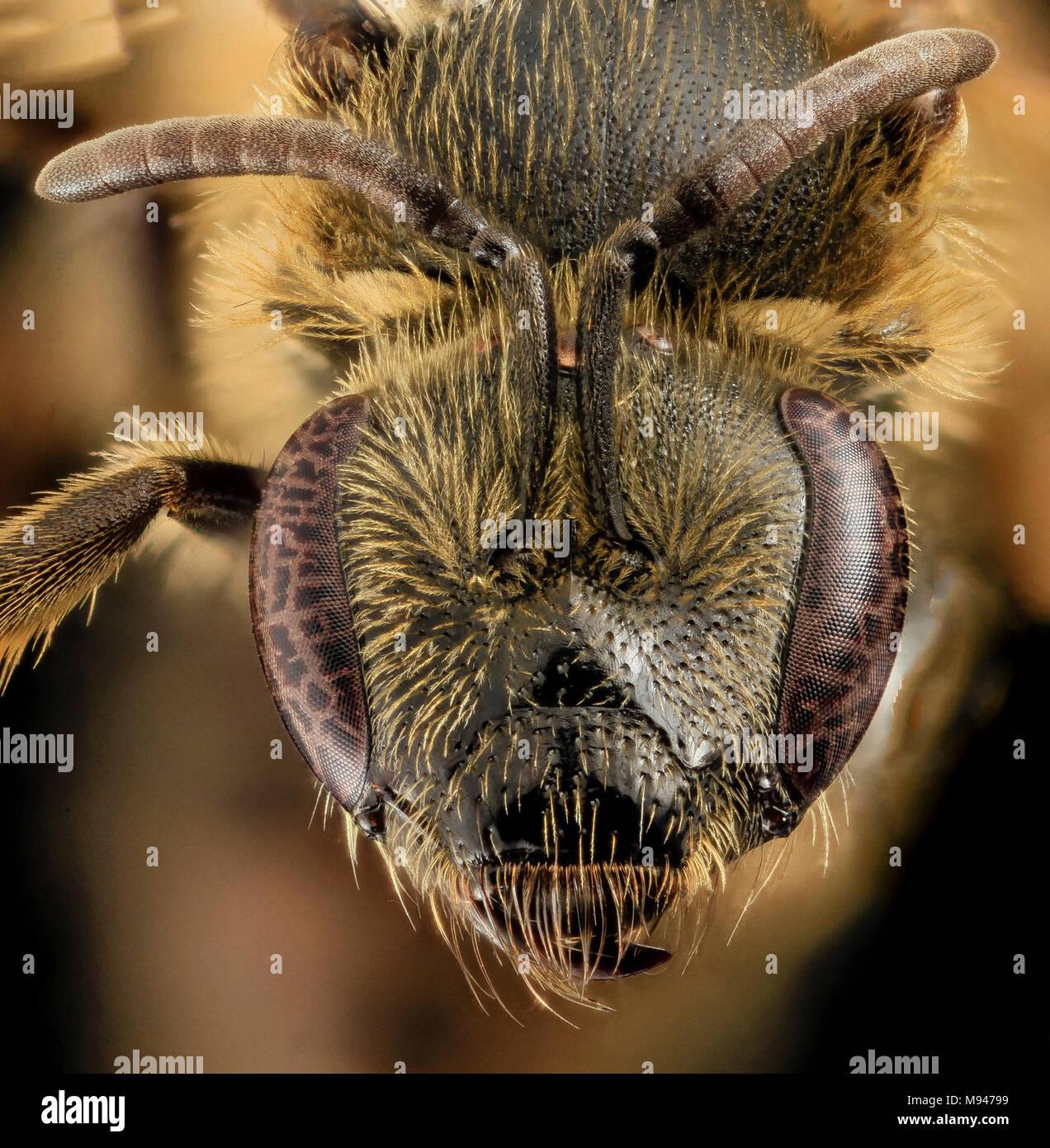 Lasioglossum accuminatum, F, Face, MA, Barnstable - Stock Image