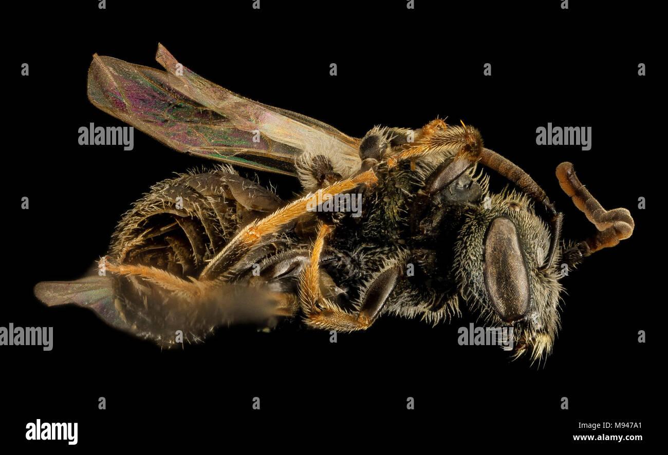 Gynandromorph, Lasioglossum hitchensi, Side, MD St Marys County - Stock Image