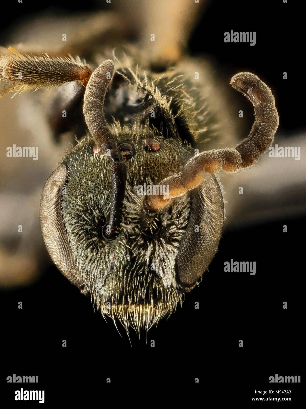 Gynandromorph, Lasioglossum hitchensi, Face, MD, St Mary's County - Stock Image