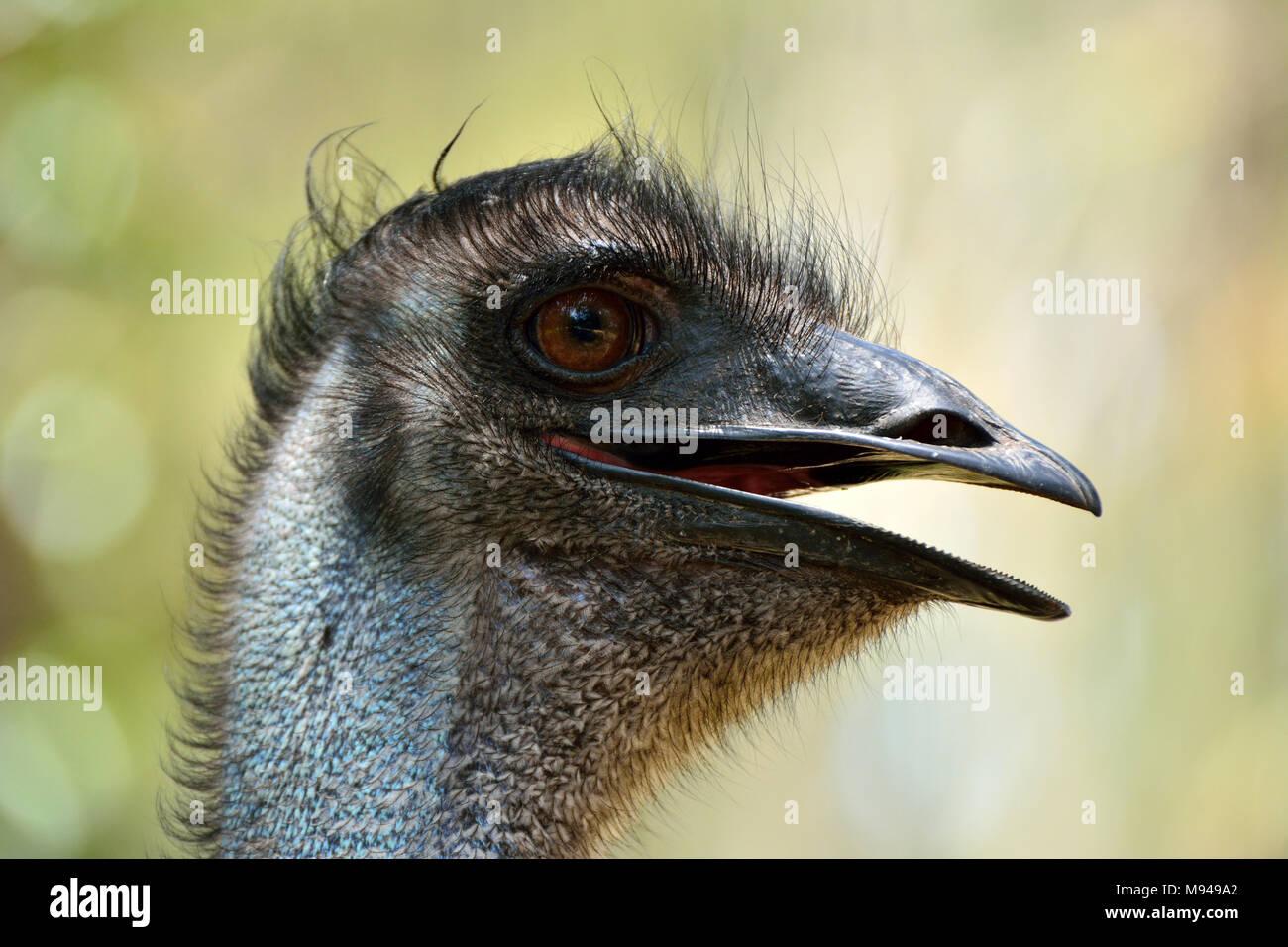 Head of emu bird (Dromaius novaehollandiae), the second-largest living bird by height. - Stock Image