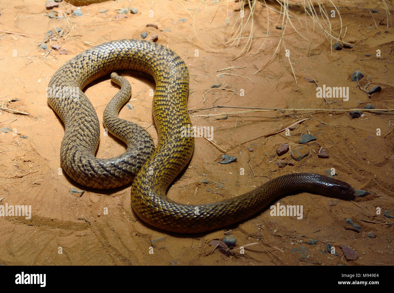 Inland taipan (Oxyuranus microlepidotus) is the most venomous snake in the world, endemic to central Australia. - Stock Image