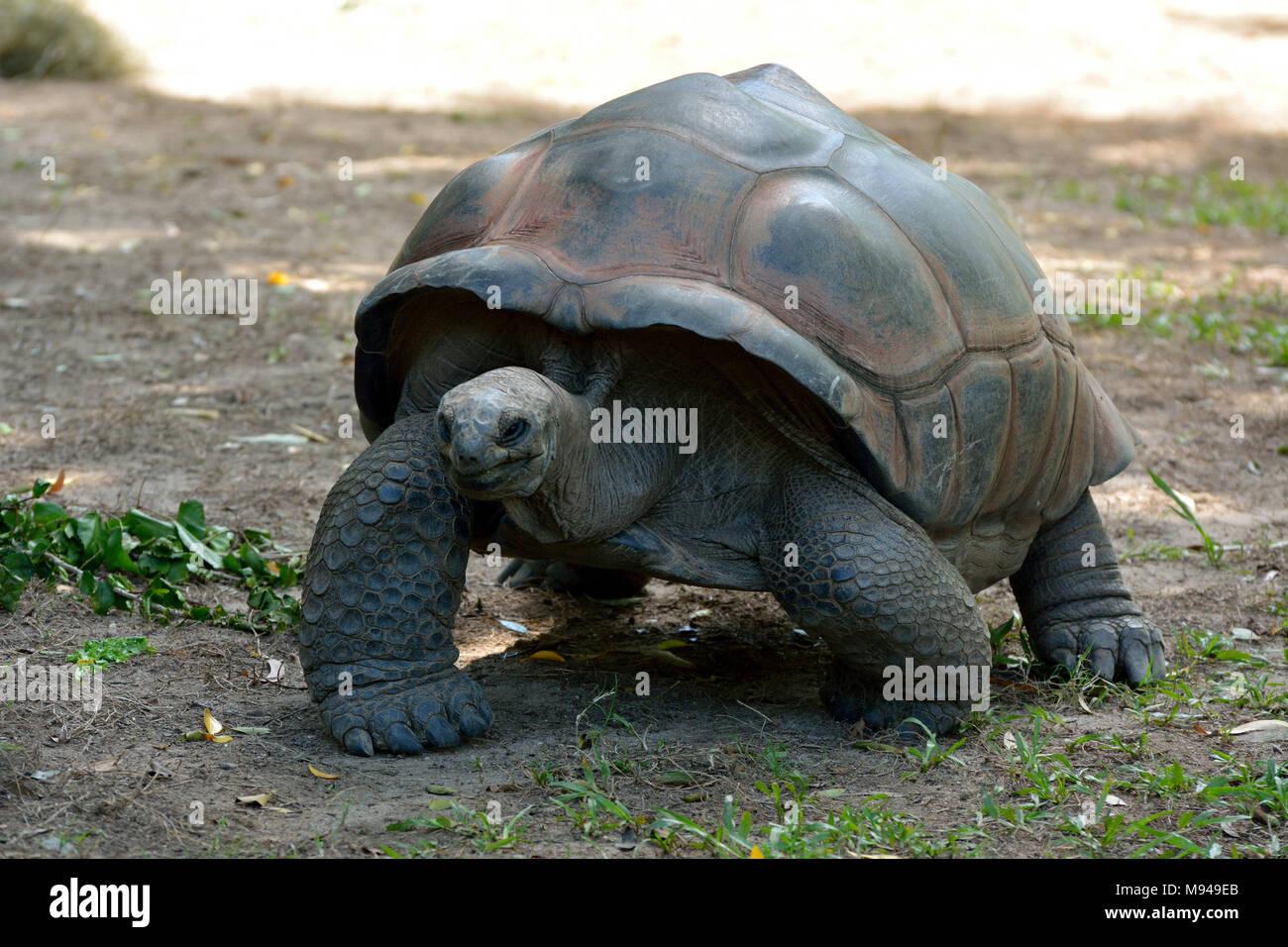 Galapagos giant tortoise (Chelonoidis nigra) are the largest living species of tortoise. - Stock Image