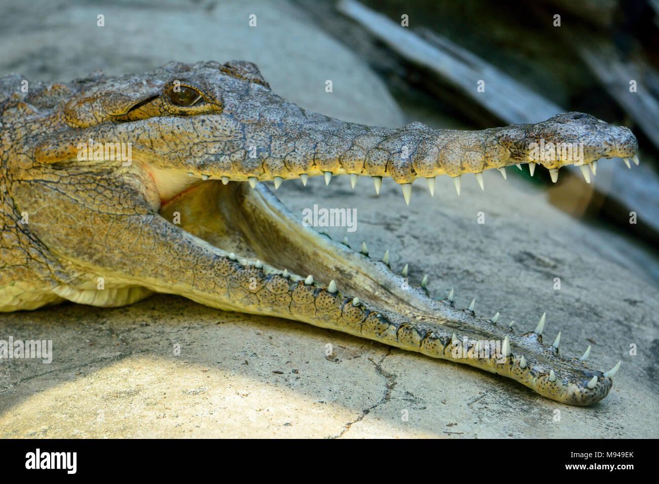 Head of freshwater crocodile (Crocodylus johnsoni) with open mouth. - Stock Image