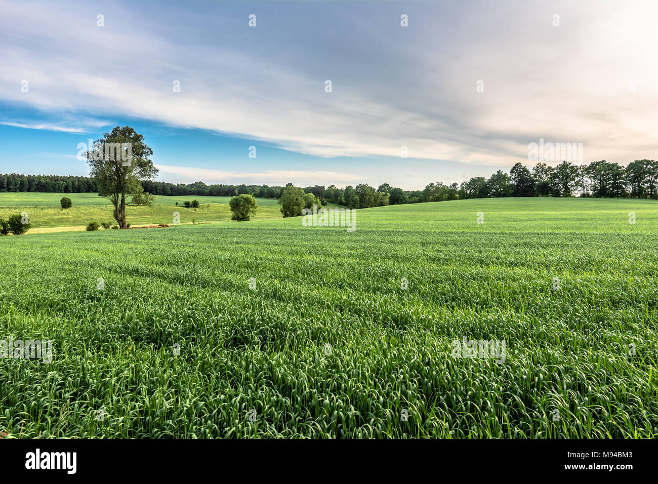Green field landscape at spring, fresh green grass, agricultural area with cereal cultivation Stock Photo