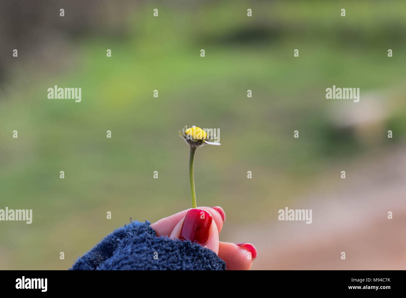 The girl guesses on love on a meadow chamomile - Stock Image