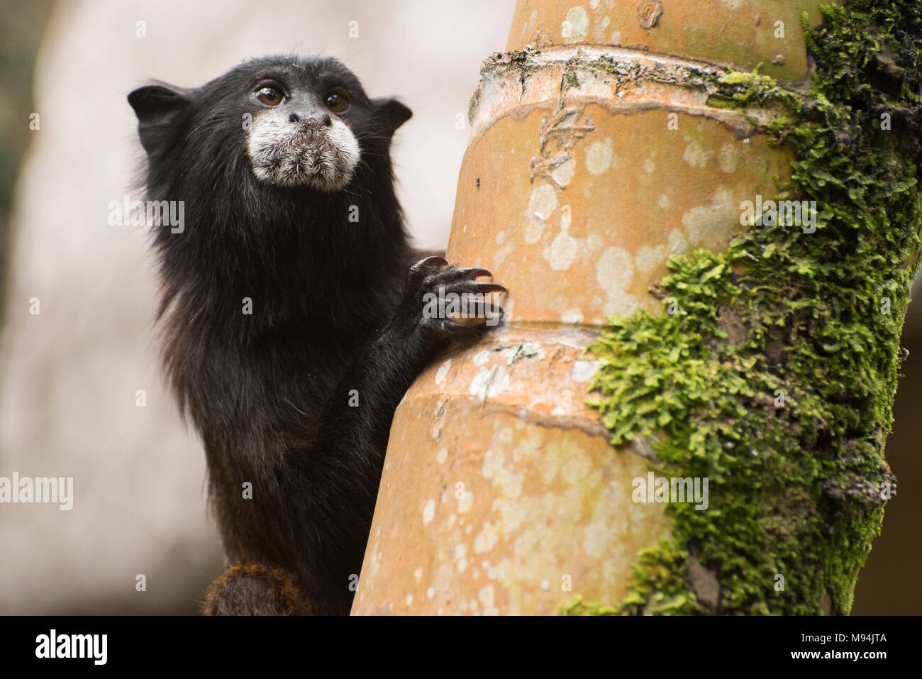A cute and wild saddle-back tamarin, Saguinus fuscicollis, peeking around a tree trunk to see where the others have gone. Stock Photo