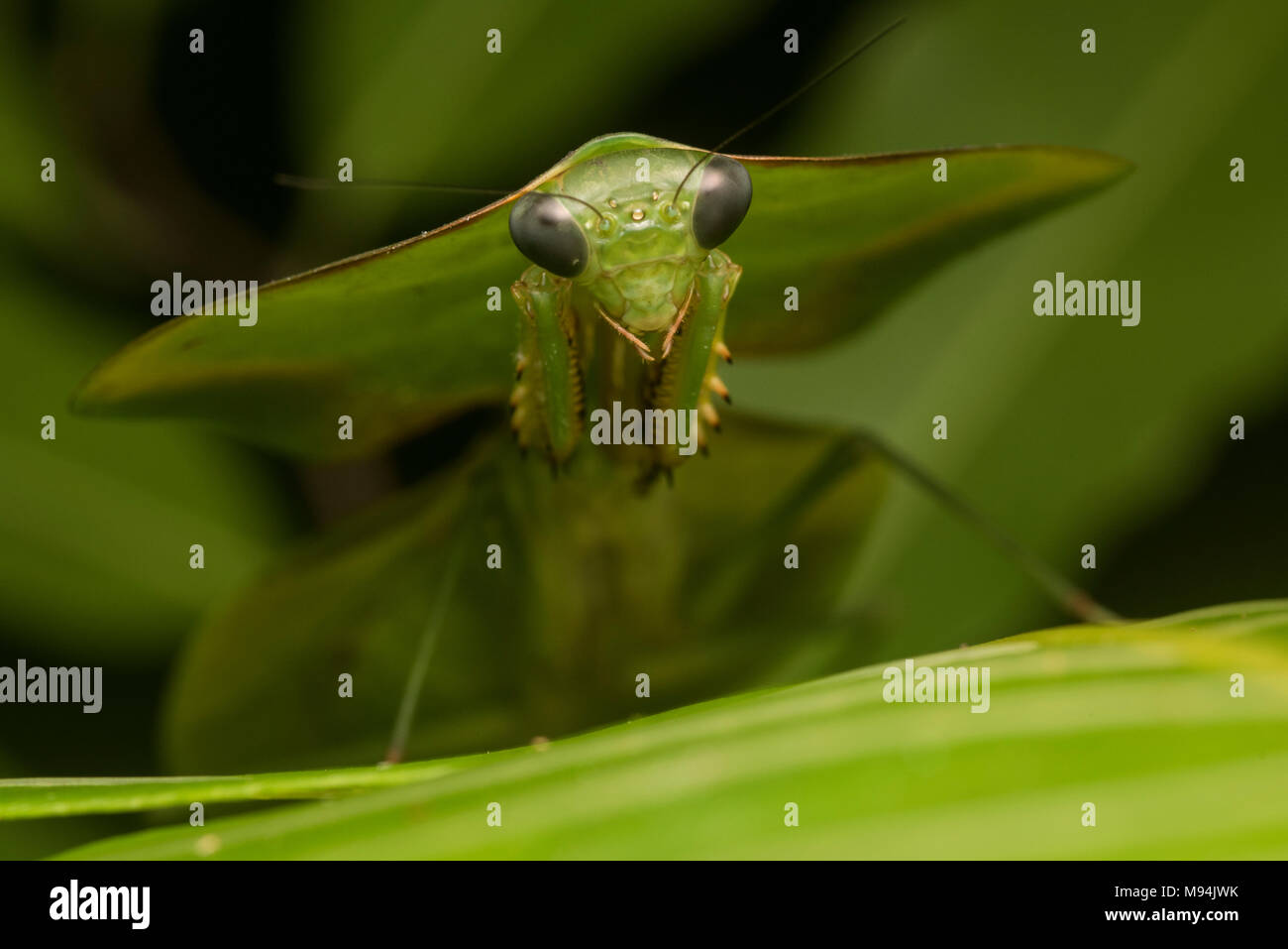 A shield or leaf mantis (Choeradodis species) relies on its amazing camouflage to blend in with plants and stay hidden. - Stock Image