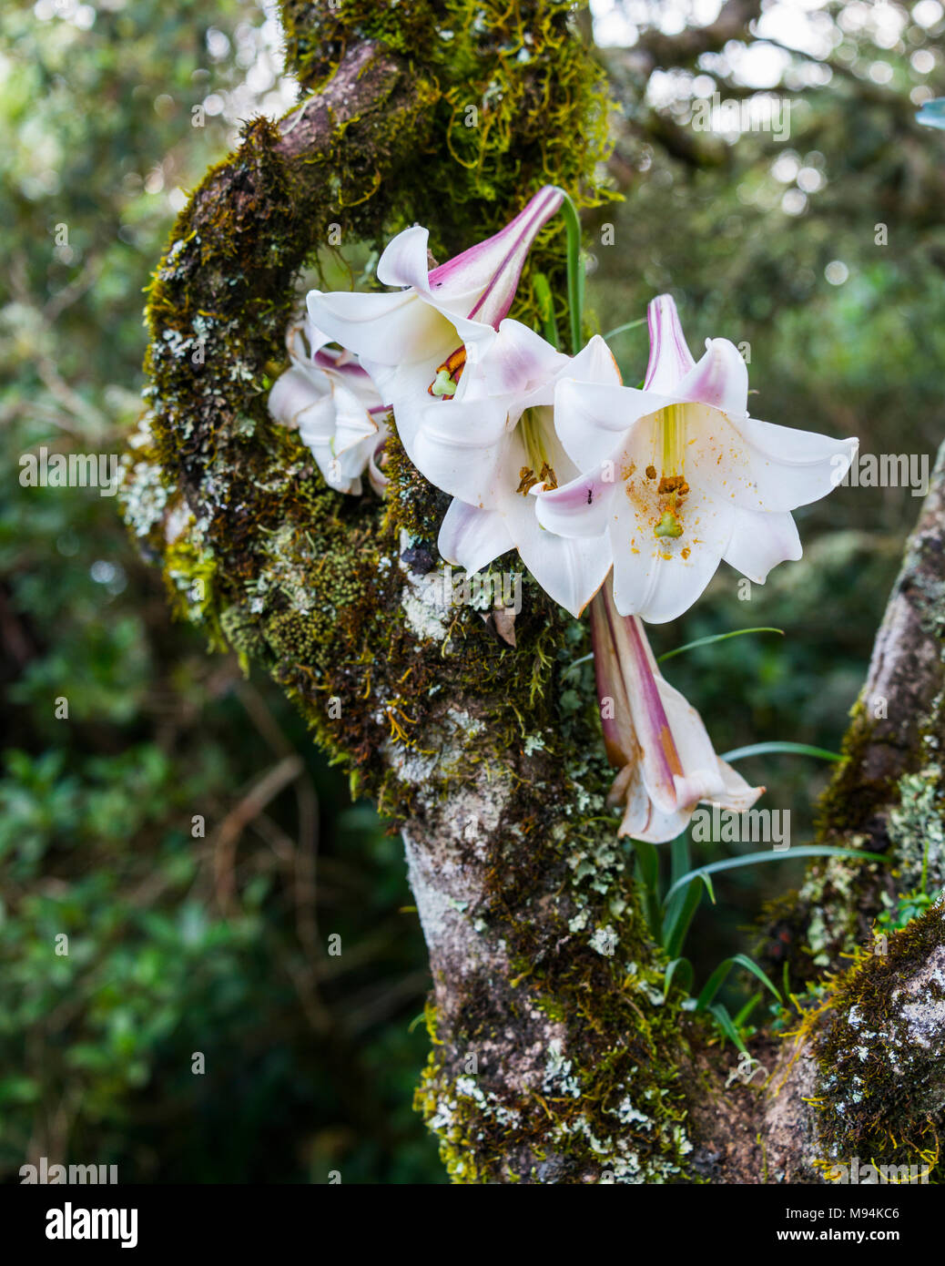 Wild Lily Flower Growing In Tree In South Africa At The Famous