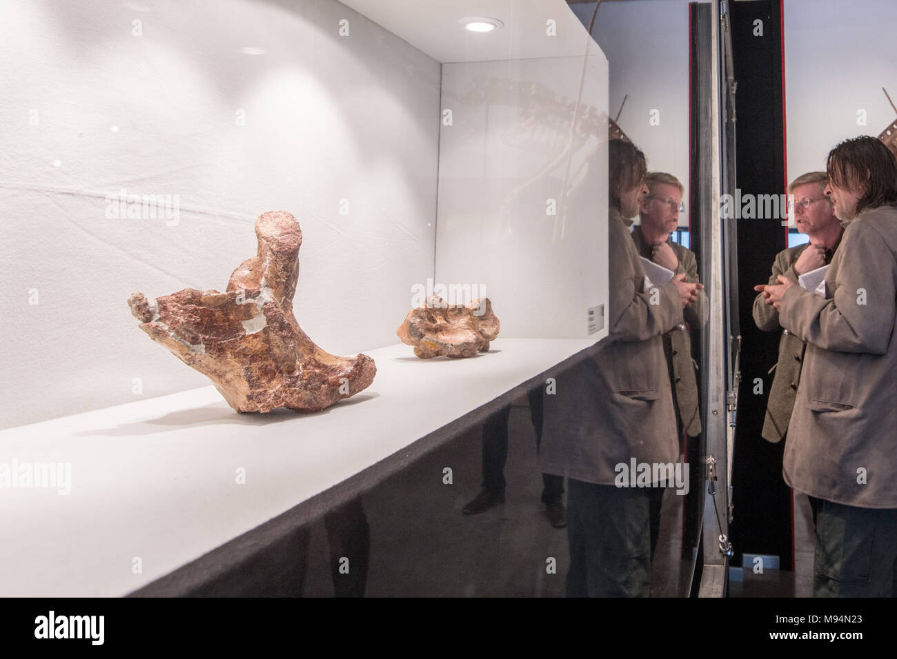 Denkendorf, Germany. 22 March 2018, Original bones of a 66 million year old huge flying dinosaur lying in a display case in the Dinosaur Museum. The most probably biggest discovered flying dinosaur with a twelve metre wing-span and weighing half a ton is being presented on Thursday. Photo: Armin Weigel/dpa Credit: dpa picture alliance/Alamy Live News - Stock Image