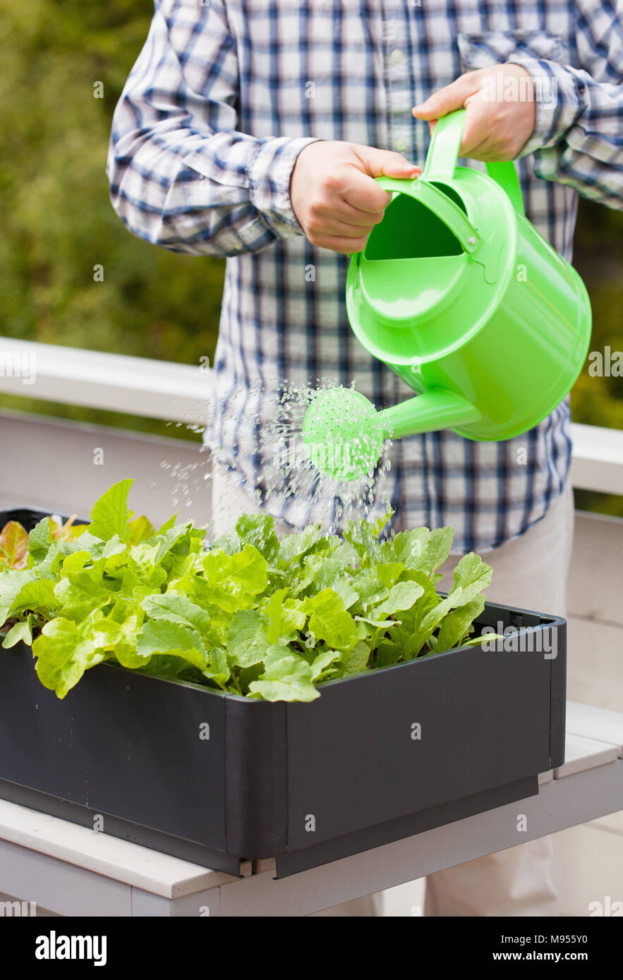 man watering vegetable garden in container on balcony - Stock Image