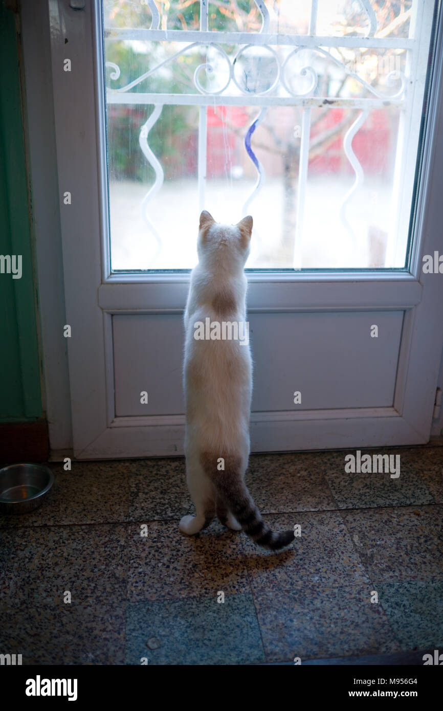rear view of a six month old female siamese and birman kitten standing on two legs looking out of window in kitchen door onto garden - Stock Image