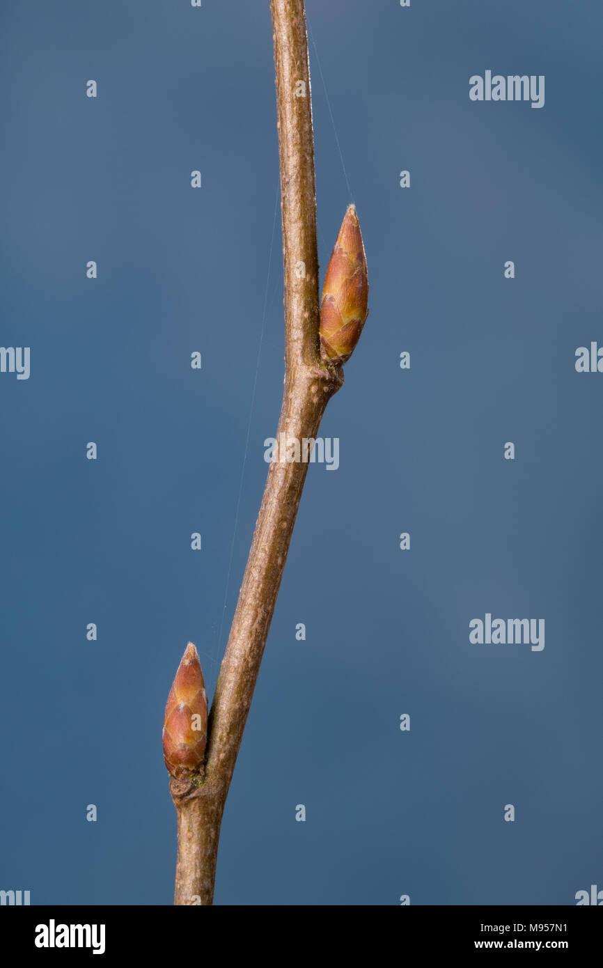 Hainbuche, Hain-Buche, Weißbuche, Weissbuche, Knospe, Knospen, Carpinus betulus, Common Hornbeam, Hornbeam, bud, buds, Charme commun, Charmille - Stock Image