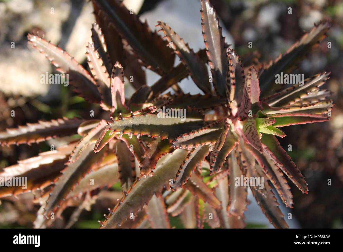 Kalanchoe Daigremontiana Plant In The Garden In Spring Stock Photo