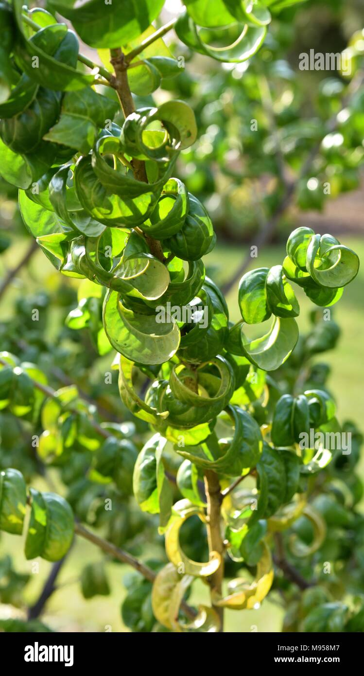 Twisted leaves of Cherry laurel - Stock Image