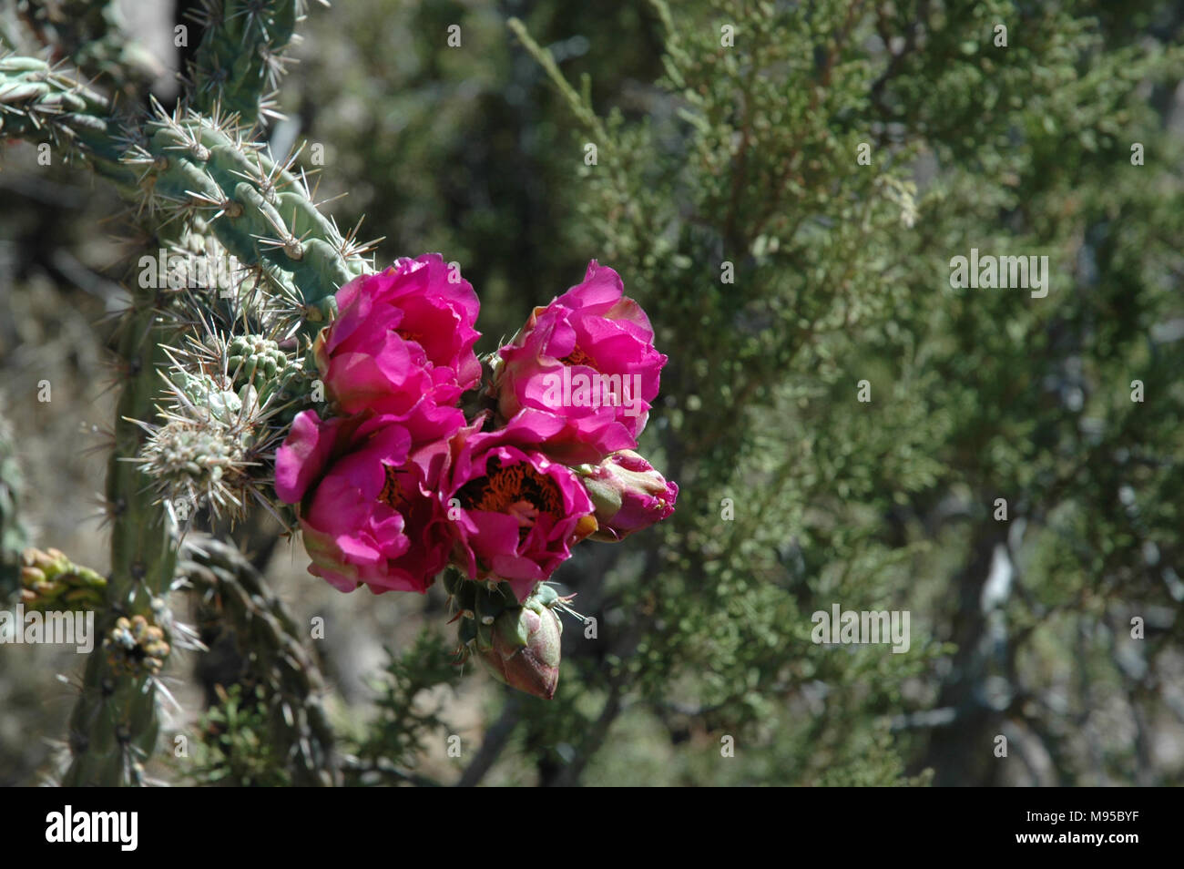 Skinny Cactus Pink Flowers Stock Photos Skinny Cactus Pink Flowers