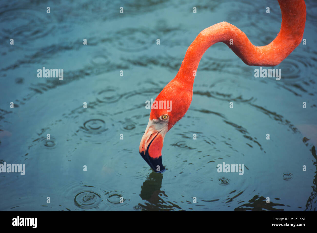 The pink Caribbean flamingo goes on water. Pink flamingo goes on a swamp. - Stock Image