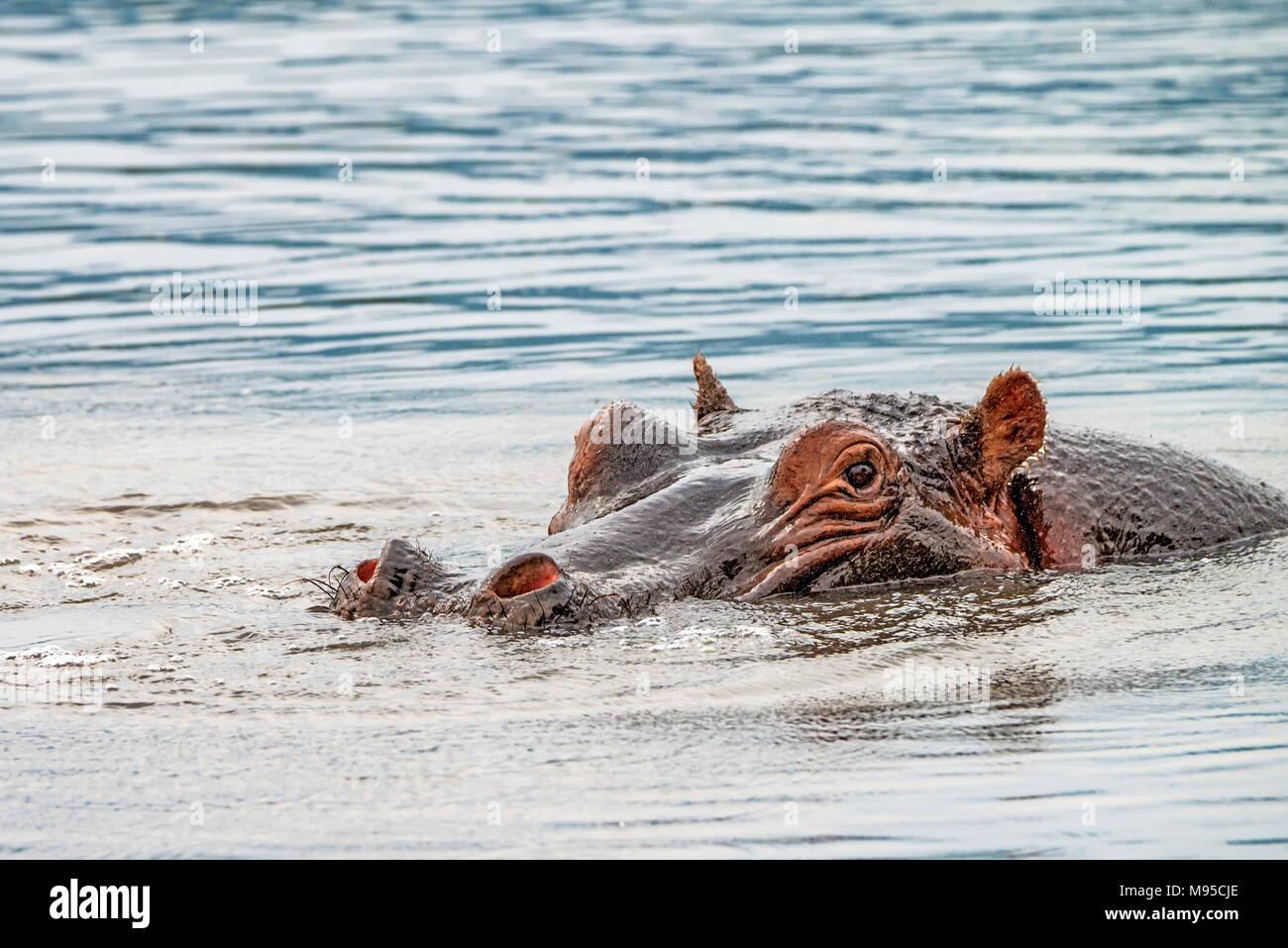 Close hippo or Hippopotamus amphibius in water - Stock Image