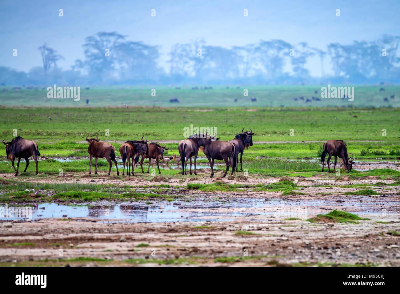 Wildebeests graze in savannah - Stock Image