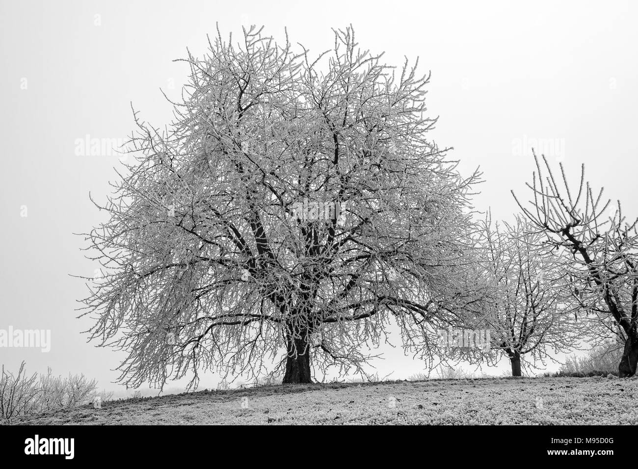 Frozen tree in winter with lots of branches, melancholic foggy scene, - Stock Image