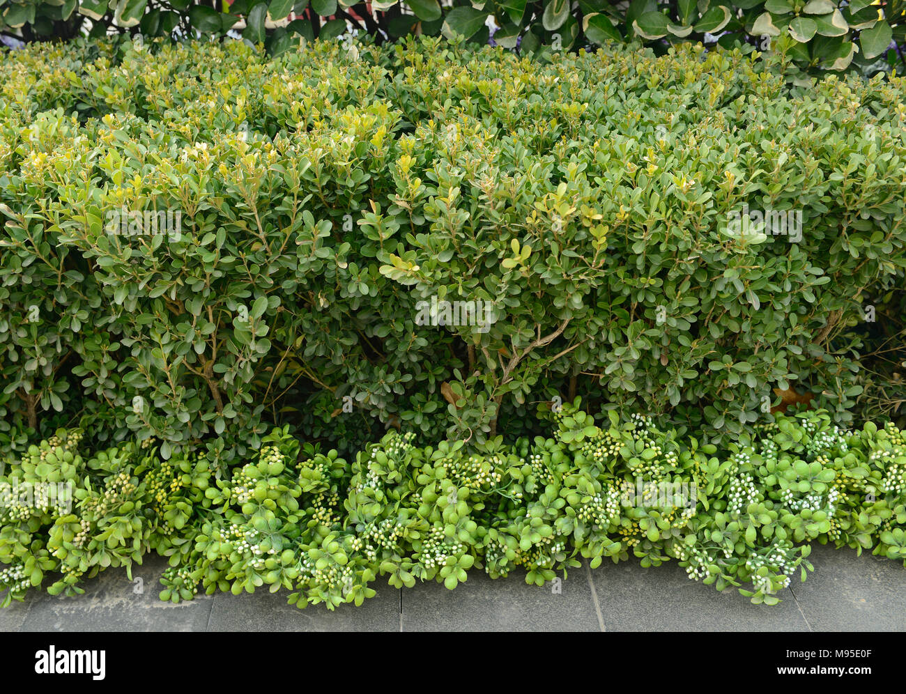 A real hedge behind with plastic branches of the same type of shrub covering a hard landscaping feature in front in Wangjing district, Beijing, China. - Stock Image