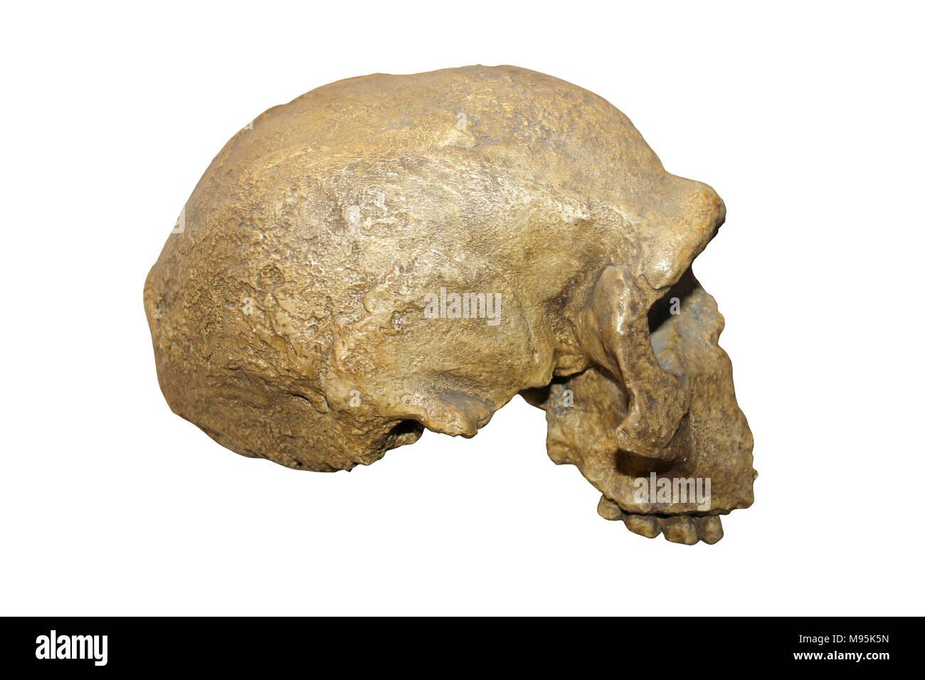 Steinheim Man skull - Stock Image