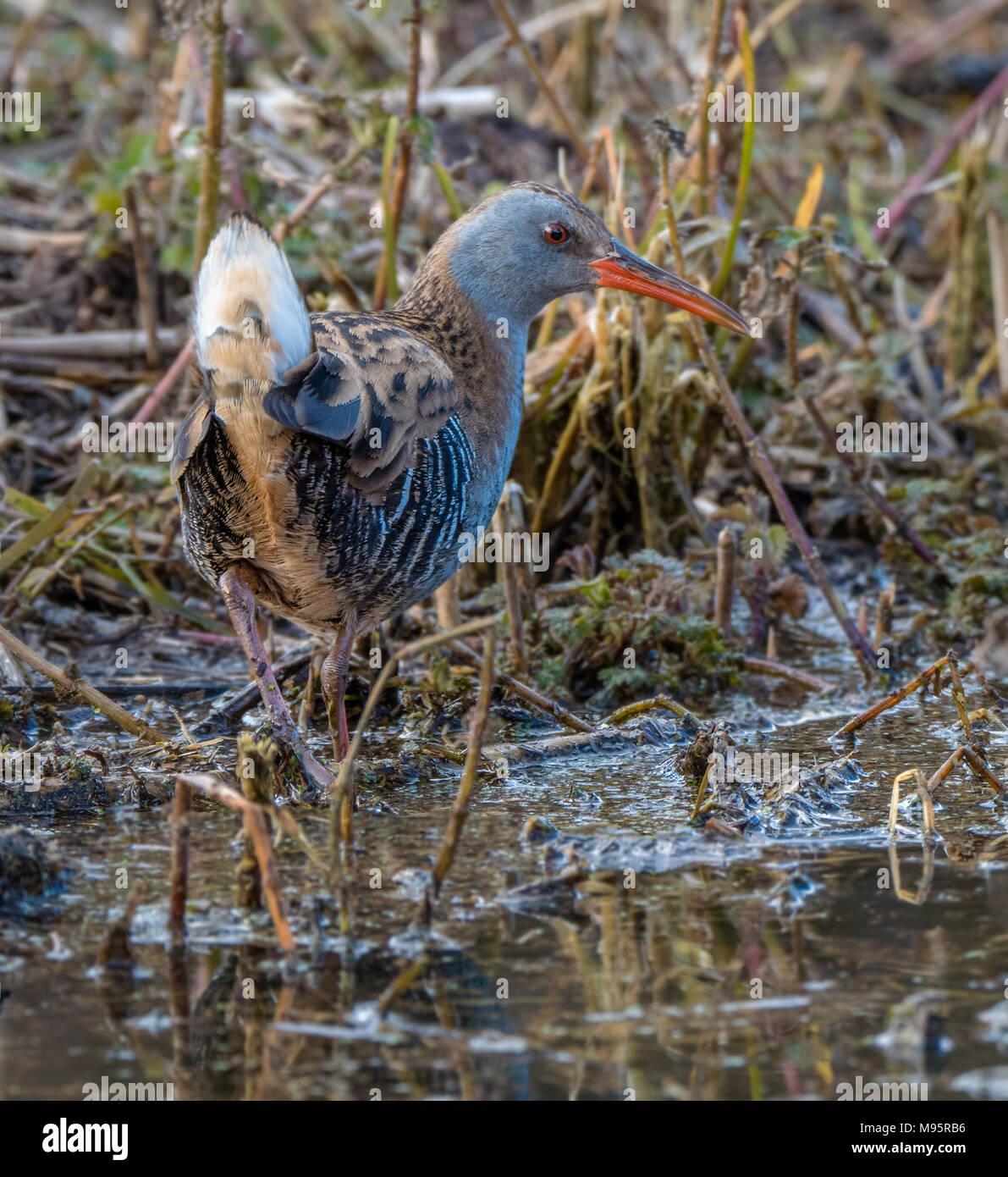 Water rail Rallus aquaticus a shy and secretive European wetland bird - Gloucestershire UK - Stock Image