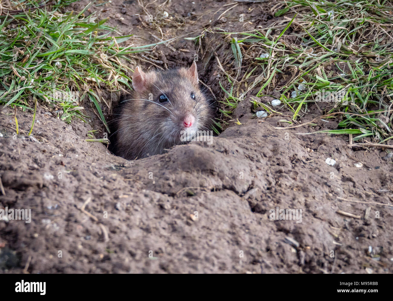 Brown rat Rattus norvegicus peeking out of its burrow in a sunny bank in Gloucestershire UK - Stock Image