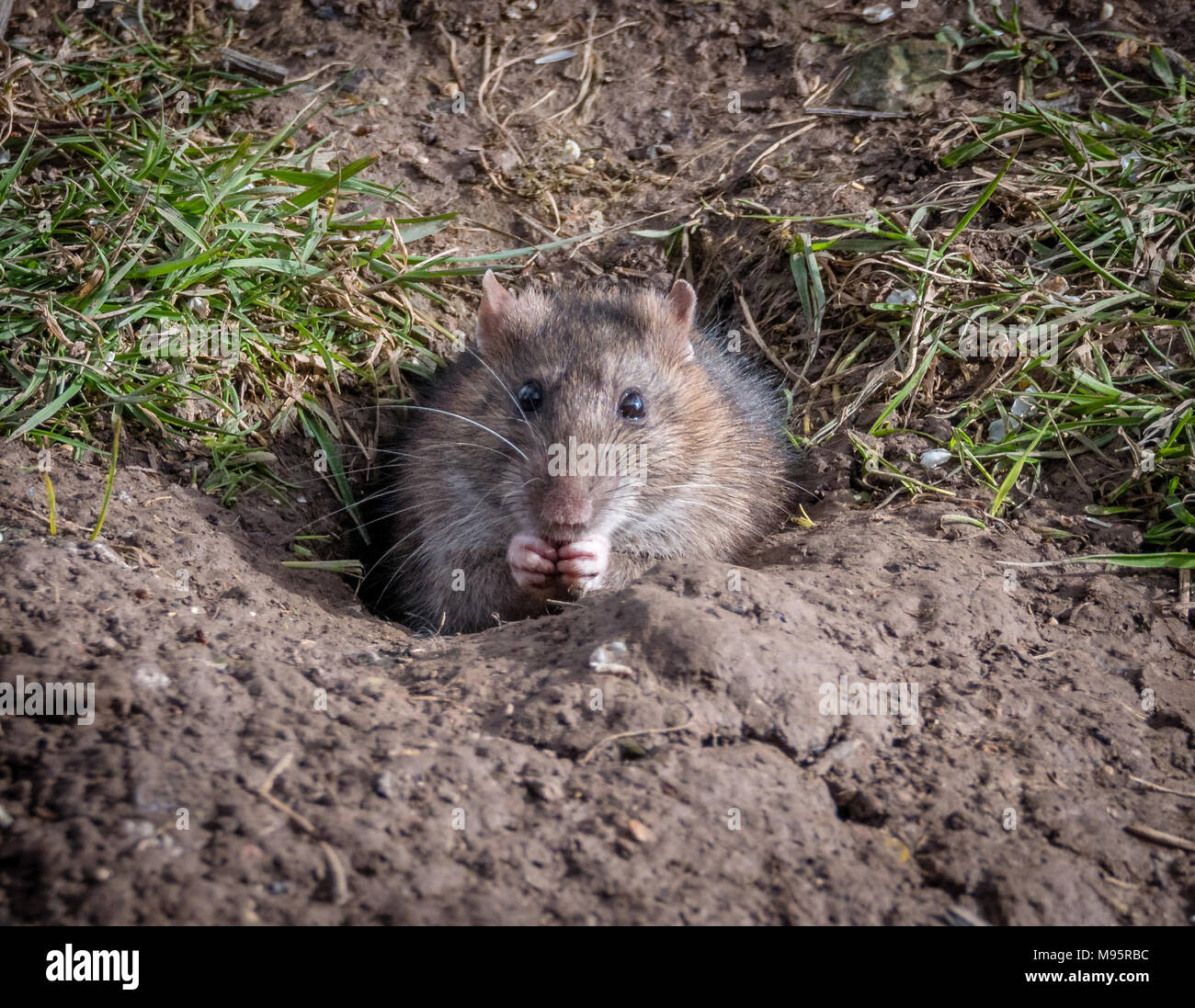 Brown rat Rattus norvegicus feeding at the entrance to its burrow in a sunny bank in Gloucestershire UK - Stock Image