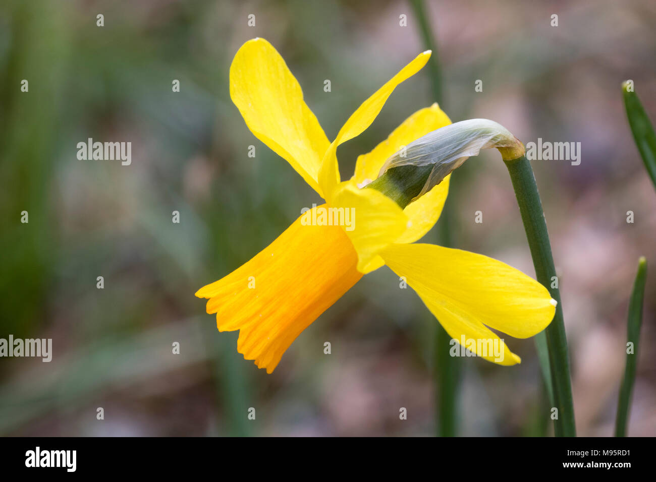Ornage corolla and yellow petals of the single flowered cyclamineus group daffodil, Narcissus 'Jetfire' - Stock Image