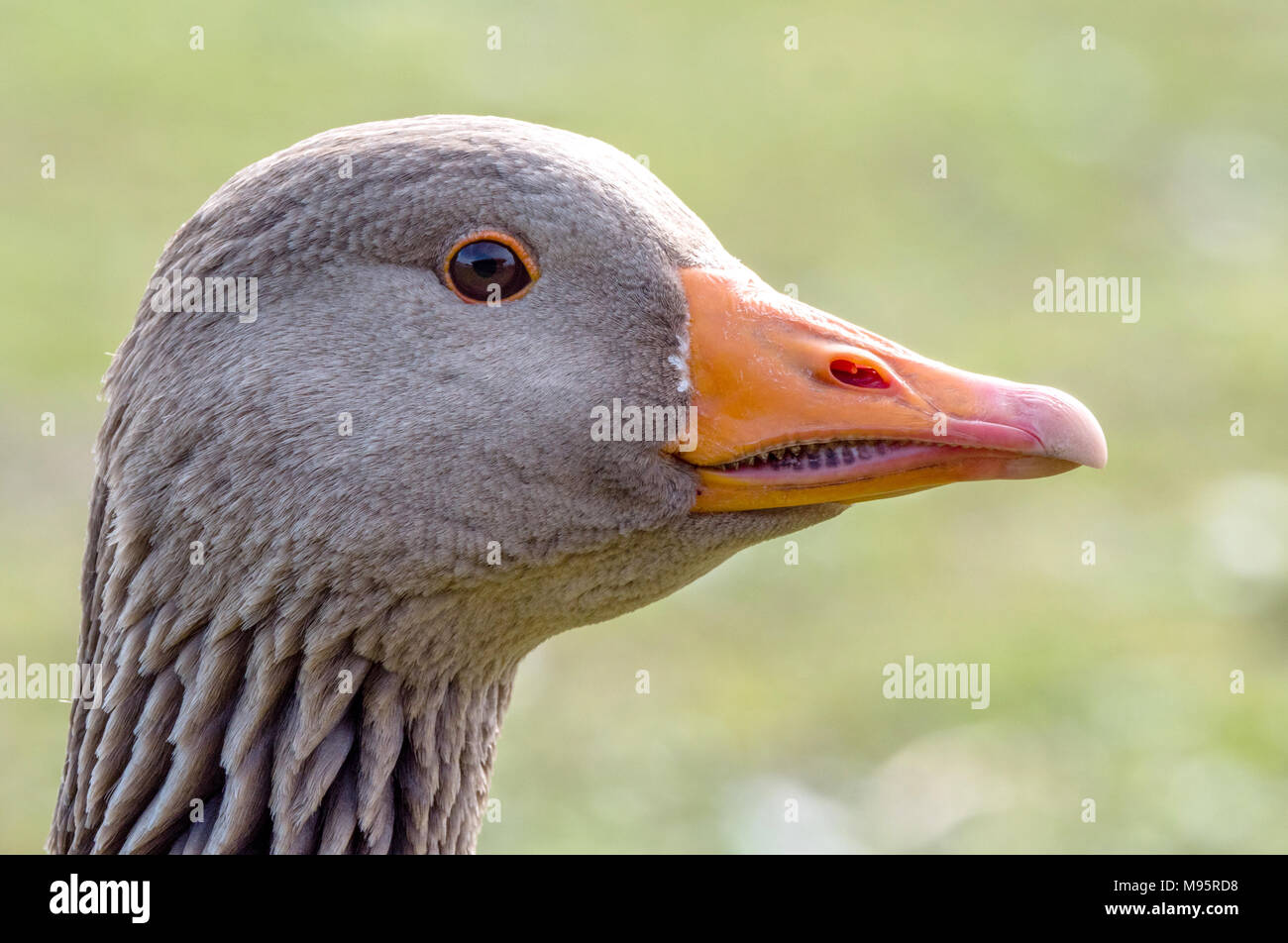 Head portrait of greylag goose Anser anser with characteristic 'toothed' bill at Slimbridge Wildfowl and Wetlands Centre Gloucestershire UK - Stock Image